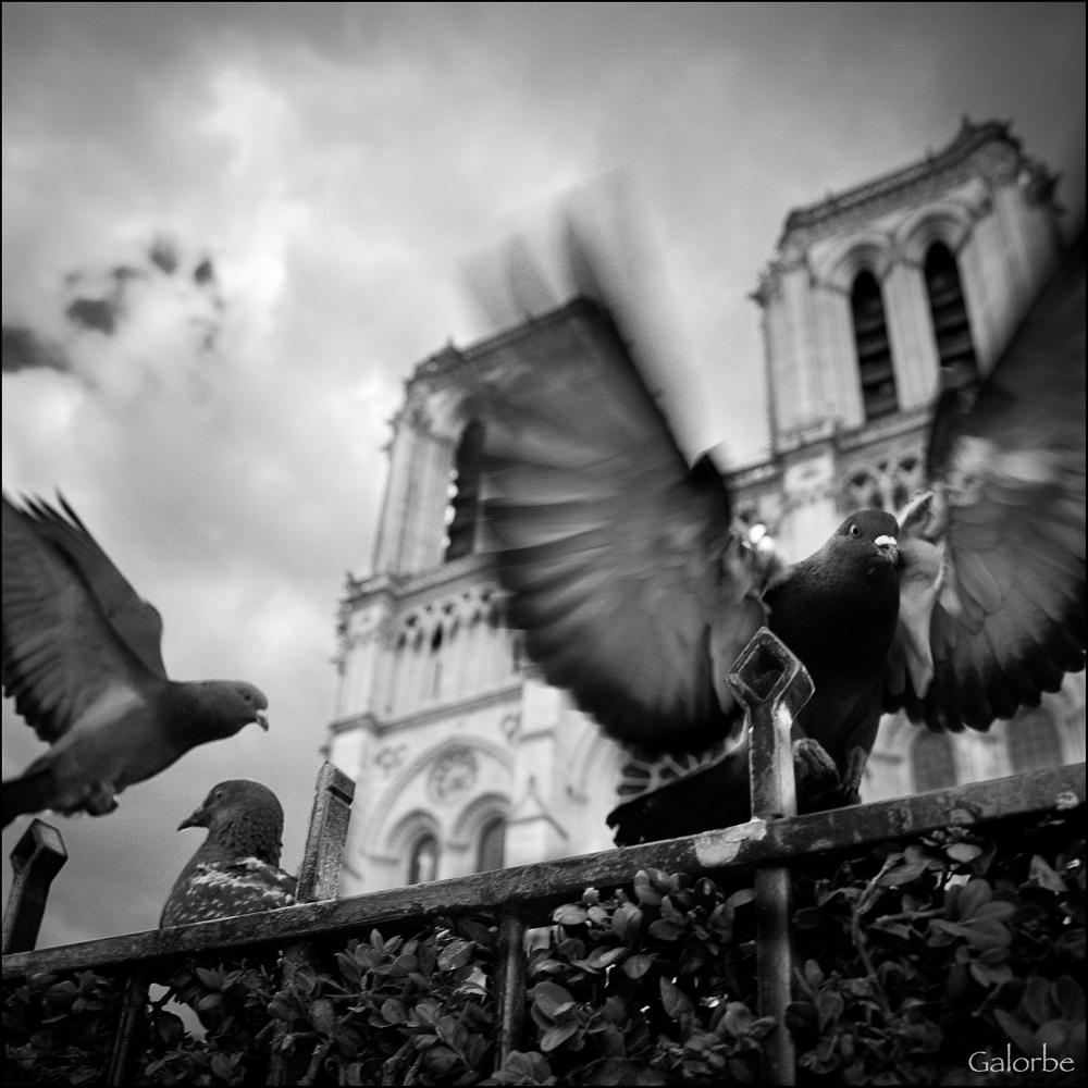 Les pigeons de Notre Dame